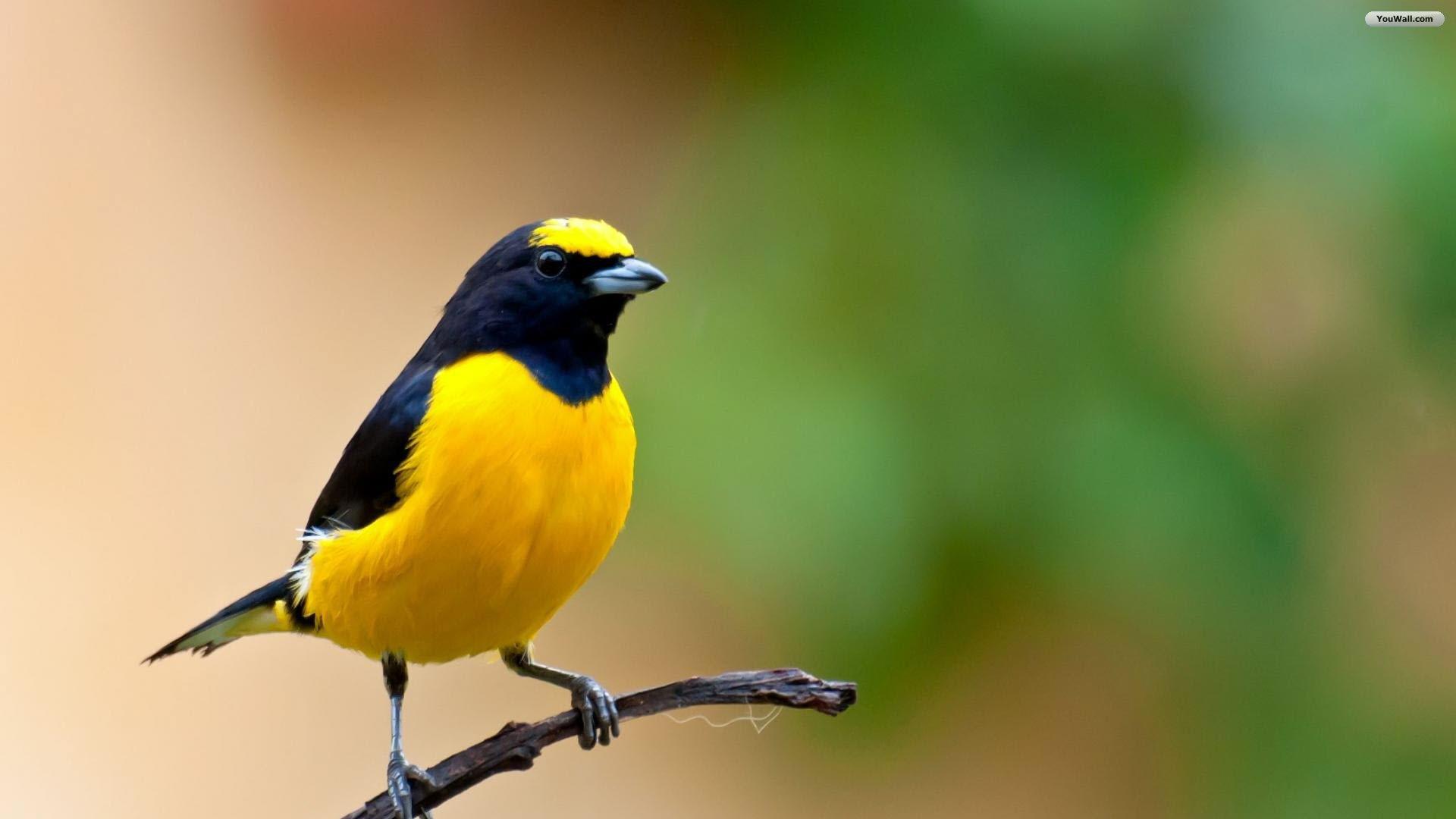 Beautiful-Yellow-Birds-06
