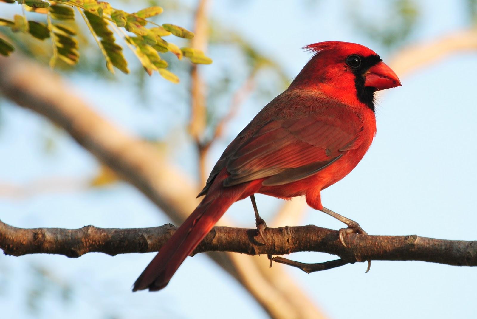 High-definition-wallpapers-northern-cardinal-birds-cool-desktop-photographs-widescreen